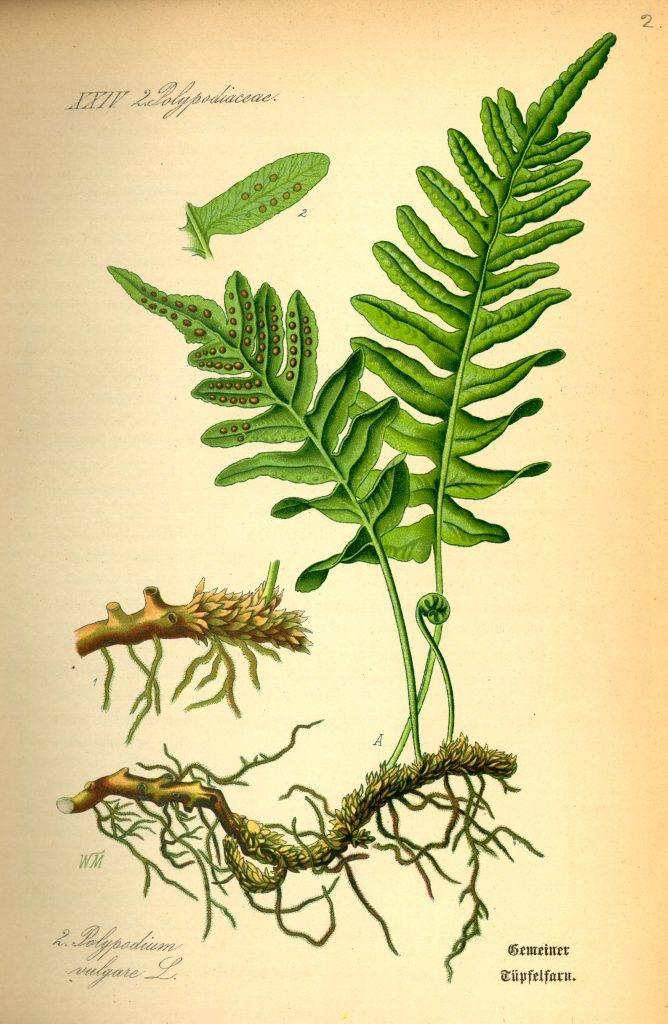 Édesgyökerű párfány - Polypodium vulgare
