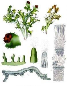 Izlandi zuzmó - Cetraria islandica Achar