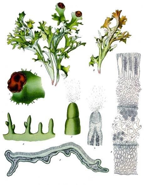 Izlandi zuzmó