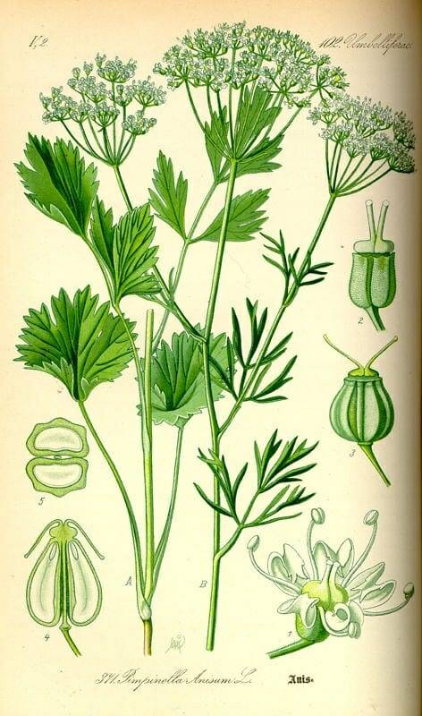 Ánizs-Pimpinella-anisum