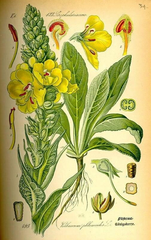Ökörfarkkóró- Verbascum thapsiforme