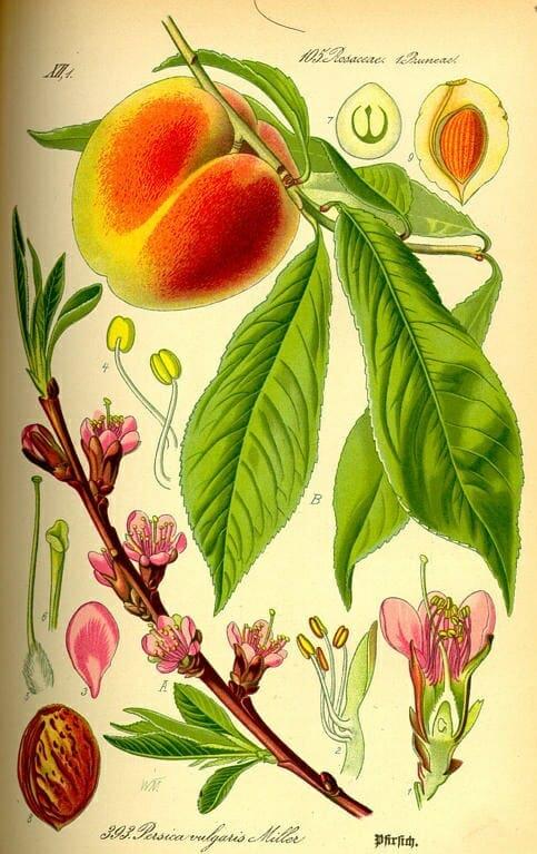 Őszibarackfa