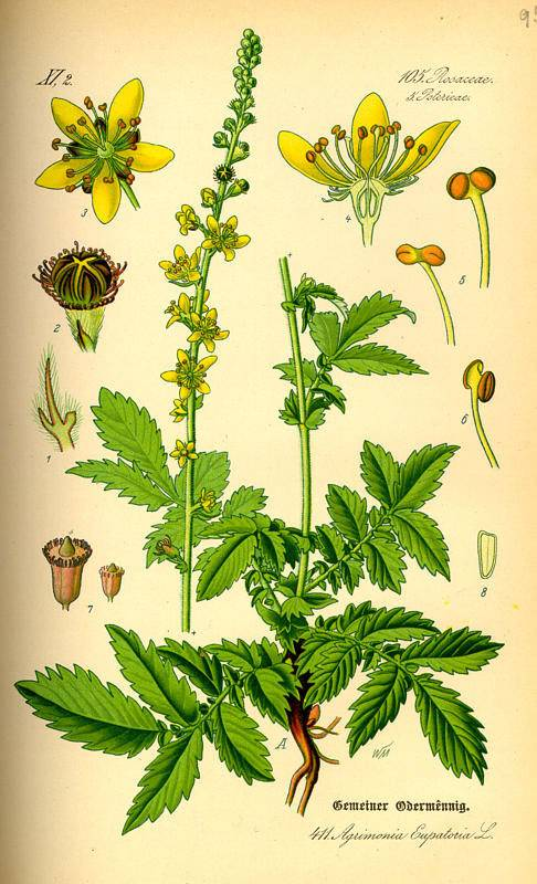 Apró bojtorján-Agrimonia eupatoria