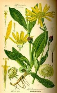 Árnika- Arnica montana L.