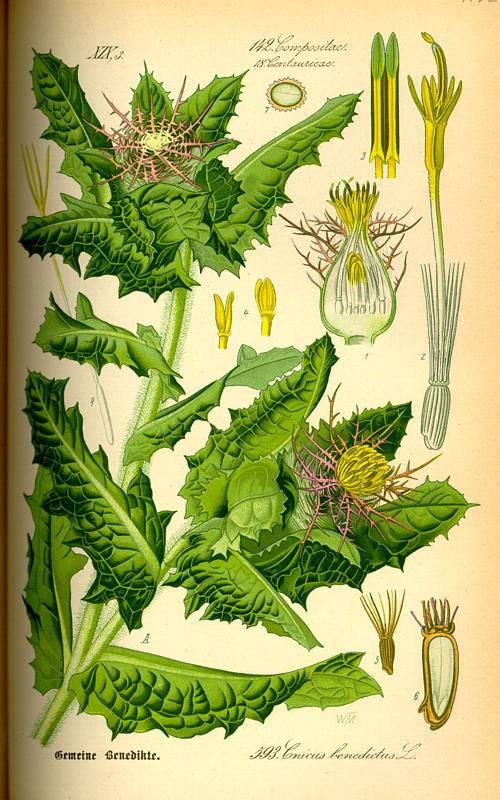 Benedekfű - Cnicus benedictus