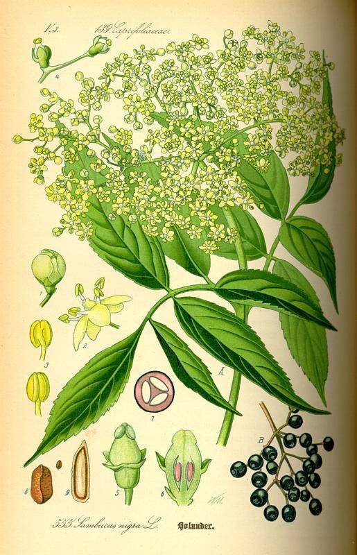 Fekete bodza - Sambucus nigra