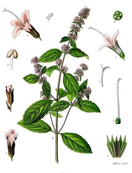 Bors menta - Mentha piperita