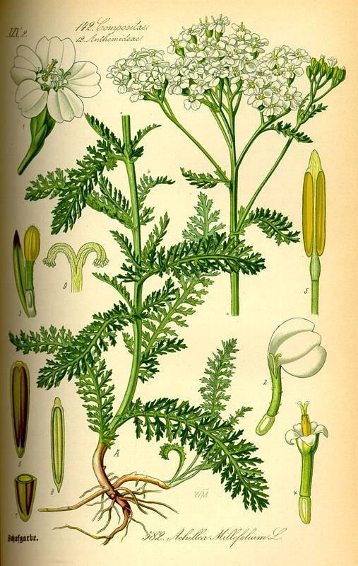 Cickafark - Achillea millefolium L.