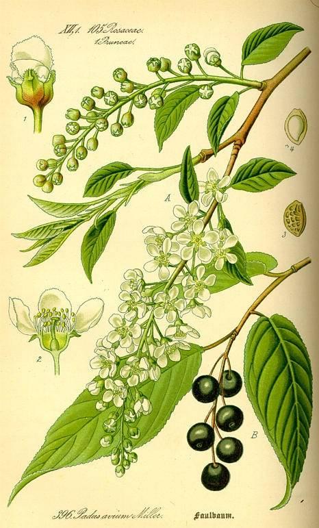 Cseresznyefa - Prunus avium
