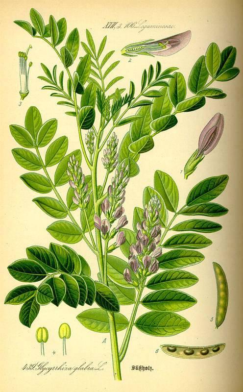 Édesgyökér - Glycyrrhiza glabra