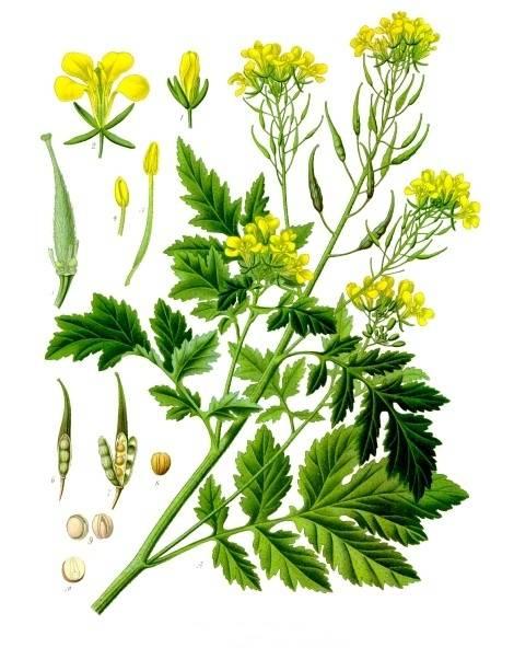 Fehér mustár - Sinapis alba