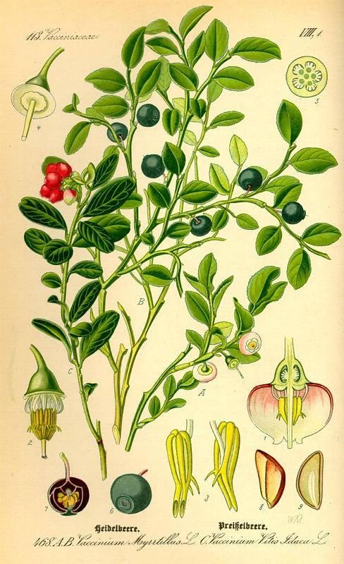 Fekete áfonya- Vaccinium Myrttillus L.