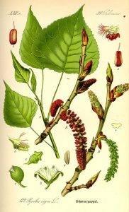 Fekete nyárfa - Gemmae populi