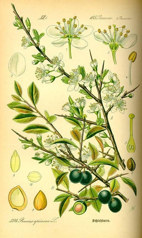 Kökény - Vaccinium Myrttillus L.