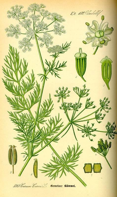 Kömény, konyhakömény, köménymag - Carum carvi L.