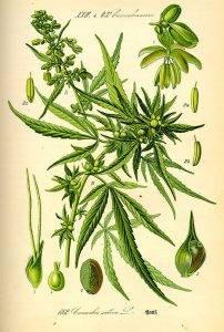 Kender - Cannabis sativa