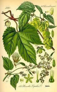Komló - Humulus lupulus