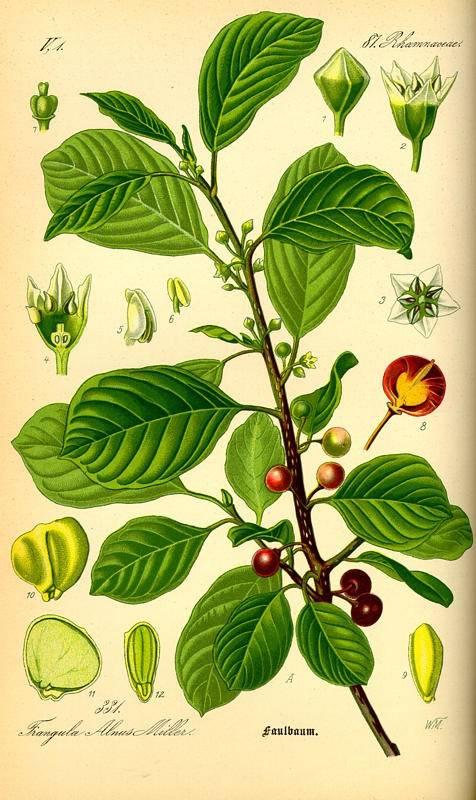 Kutyabengefa - Rhamnus Frangula