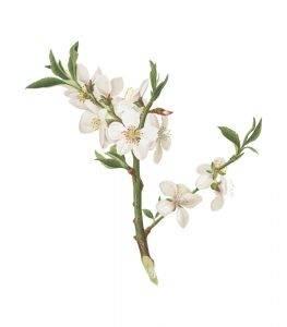Mandulafa virág