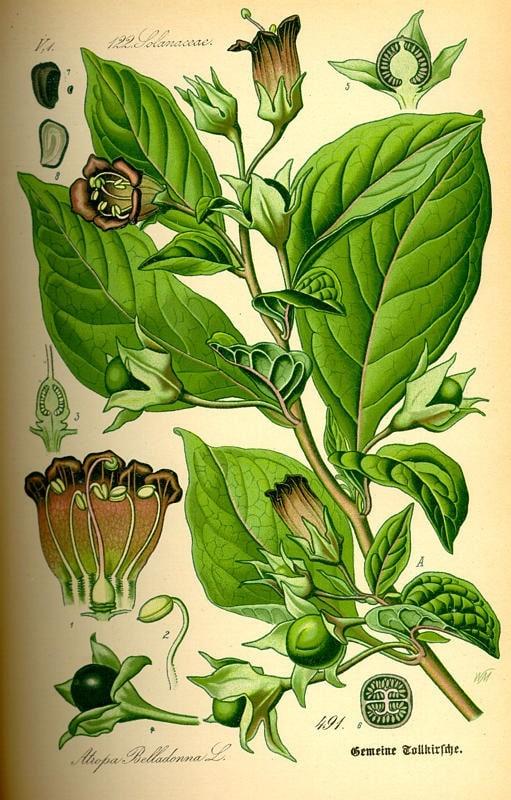 Maszlagos nadragulya - Atropa Belladonna