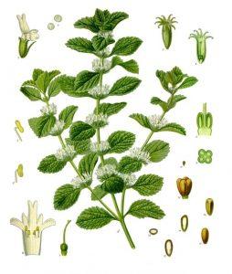 Orvosi pemetefű - Marrubium vulgare
