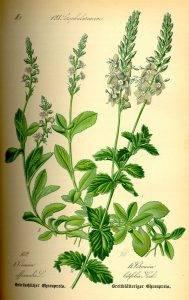 Orvosi veronika - Veronica officinalis L.