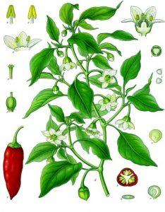 Paprika - Capsicum annum
