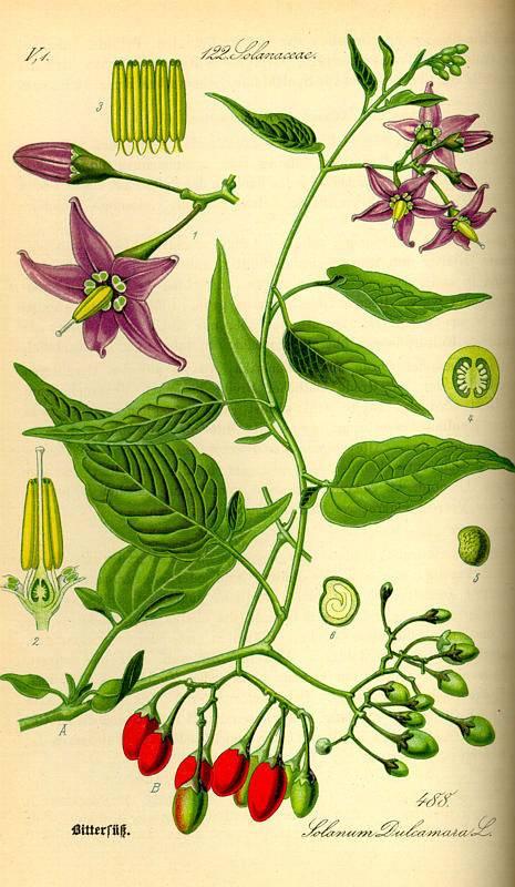 Piros ebszőlő-Solanum dulcamara
