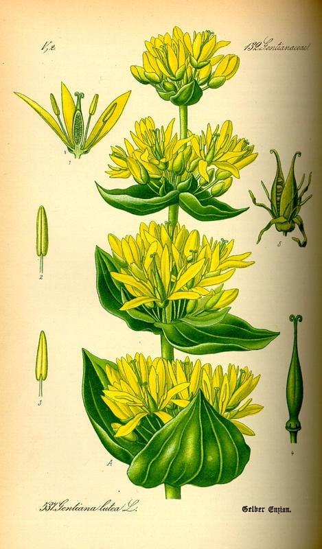 Sárga tárnics - Gentiana lutea L.