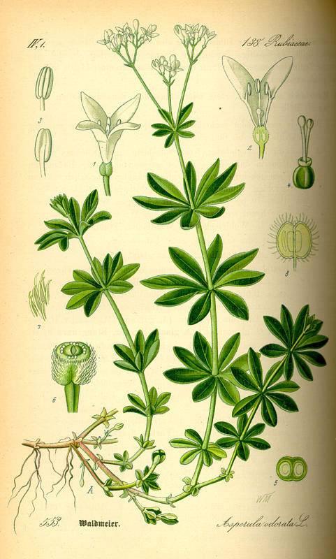 Szagos müge - Galium odoratum