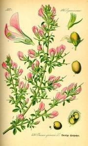 Tövises iglice- Ononis spinosa L.