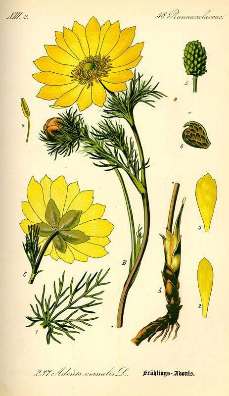 Tavaszi hérics-Adonis vernalis