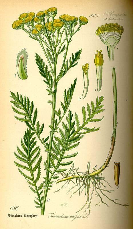 Varádics aranyvirág - Tanacetum vulgare