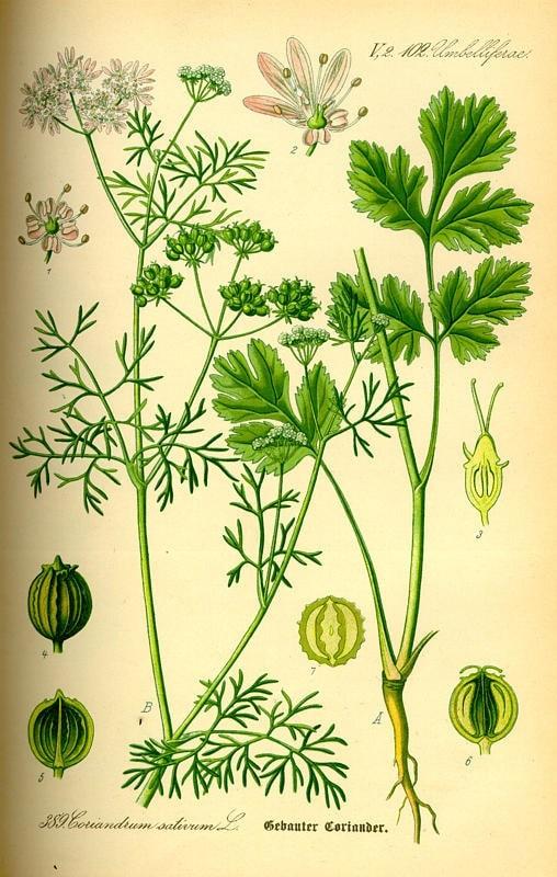 Koriander - Coriandrum sativum L.