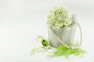 Cickafark - Achillea millefolium