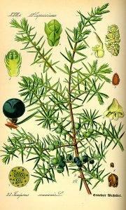 Gyalogfenyő-boróka - Juniperus communis