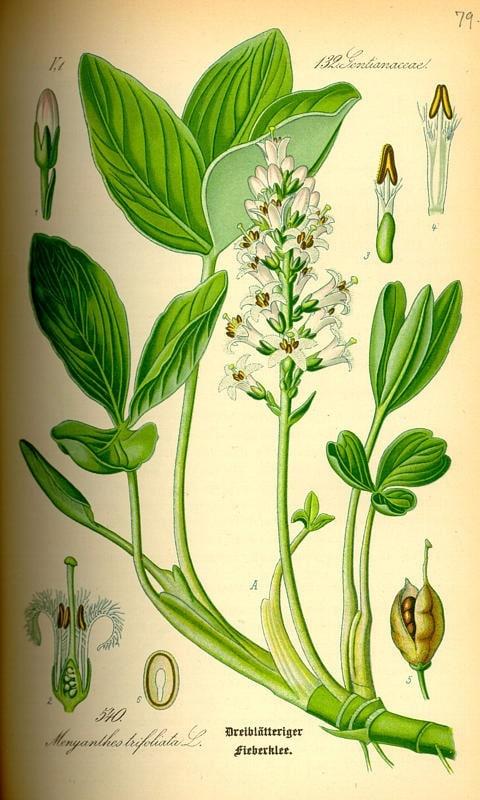 Háromlevelű vidrafű - Meriyanthes trifoliata L.