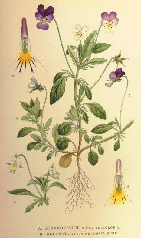 Mezei árvácska - Viola tricolor