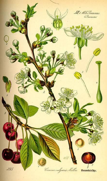 Meggy - Prunus cerasus