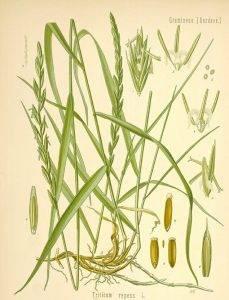 Tarackbúza -Triticum repens L. Agropyrum repens.