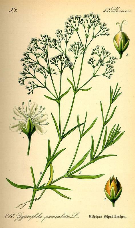Buglyas dercefű-Gypsophila paniculata