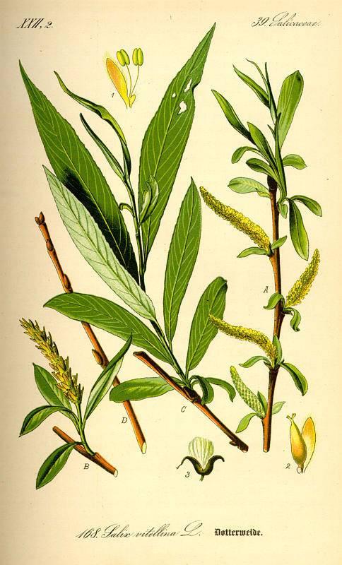 Feherfűz - Salix alba