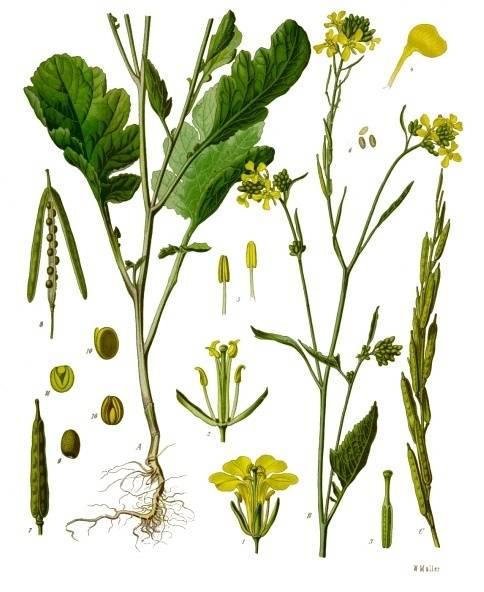 Fekete mustár-Brassica nigra