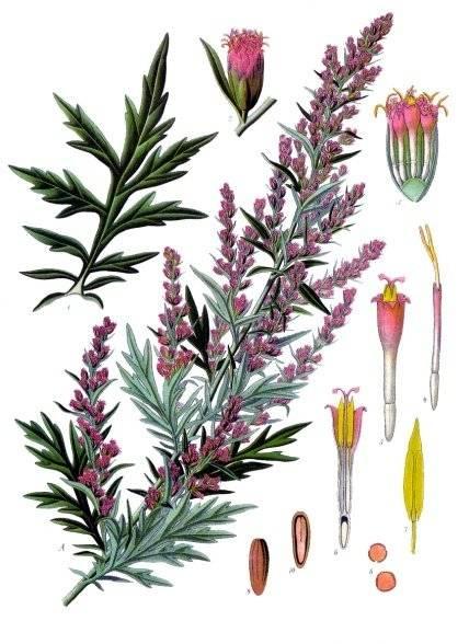 Fekete üröm - Artemisia vulgaris