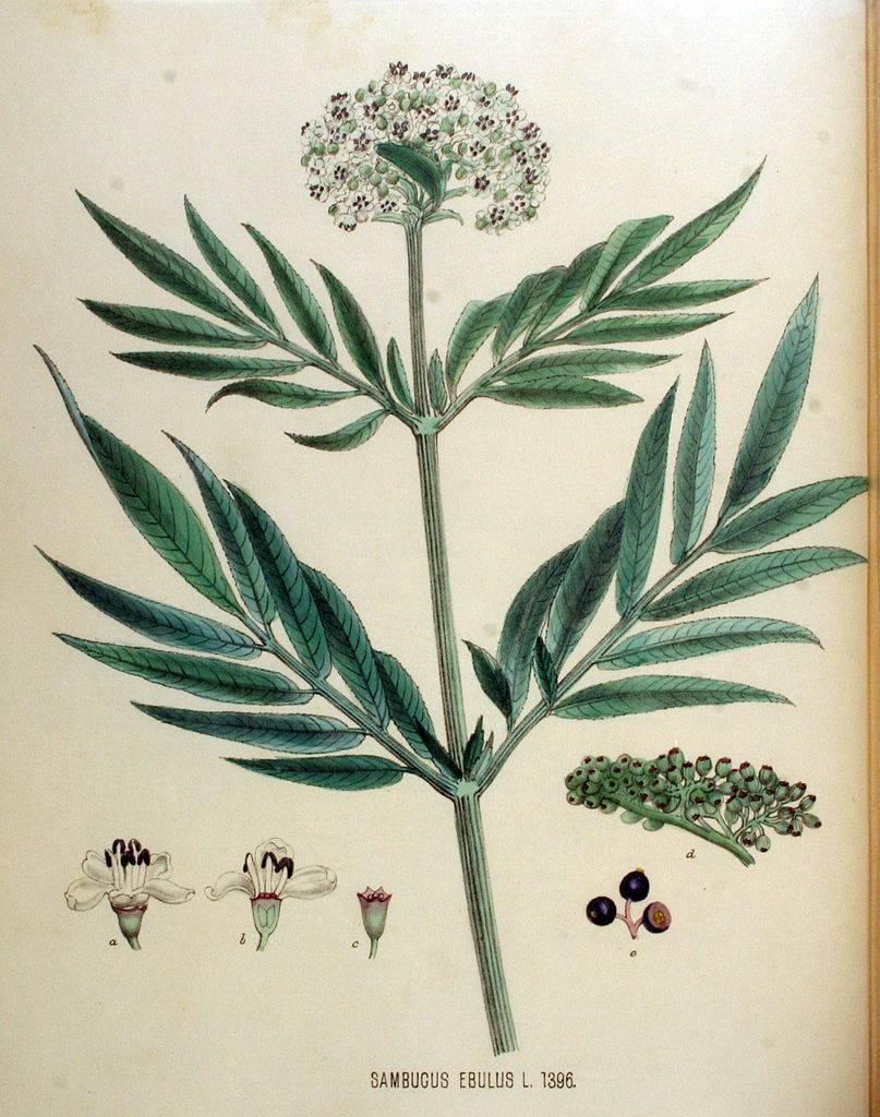 Földi bodza - Sambucus ebulus