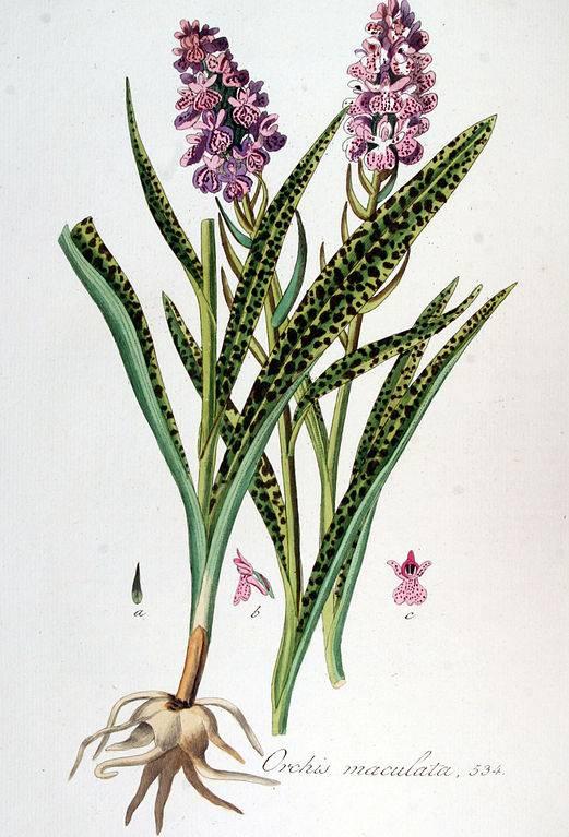 Foltos kosbor - Orchis maculata
