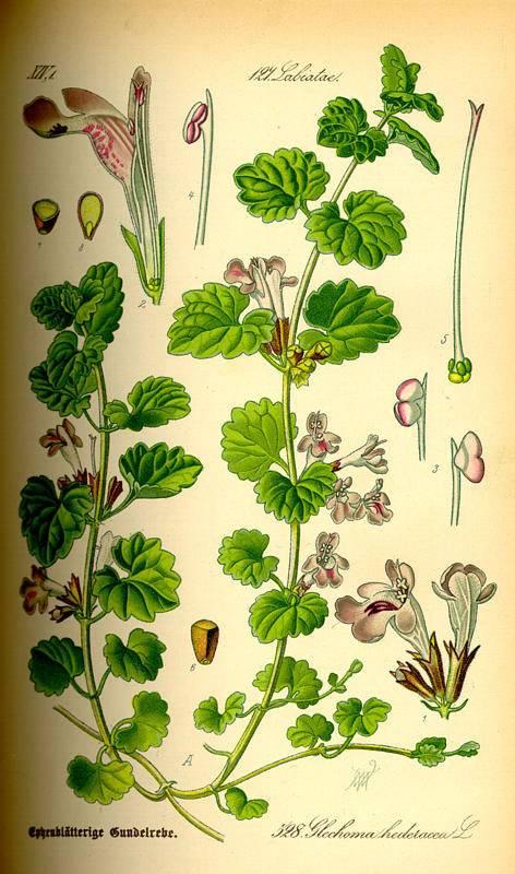 Kerek repkény - Glechoma hederacea