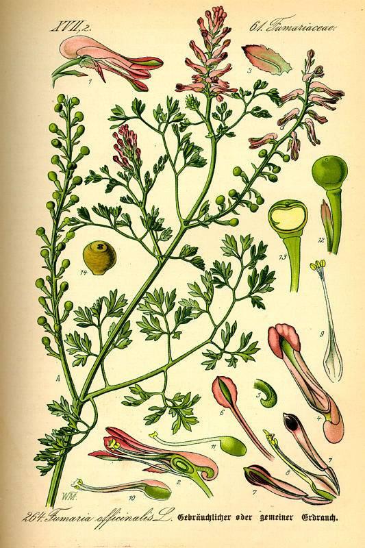 Orvosi füstike-Fumaria officinalis