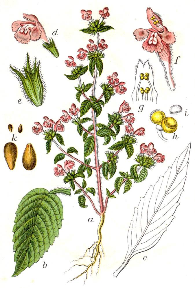 Piros kenderkefű — Galeopsis Ladanum L.