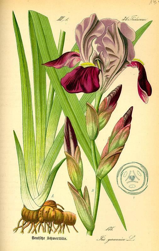 Pompás nőszirom-Iris-germanica